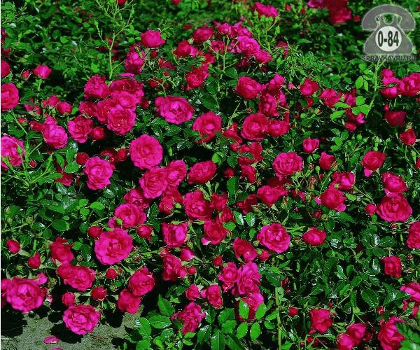 Саженцы декоративных кустарников и деревьев роза почвопокровная лиственные зелёнолистный чашевидный закрытая