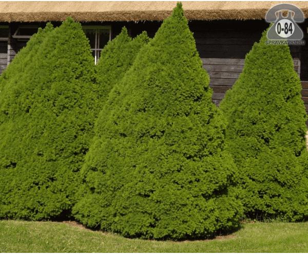Саженцы декоративных кустарников и деревьев ель канадская Коника (Conica) пирамидальная хвойные закрытая L2 Россия