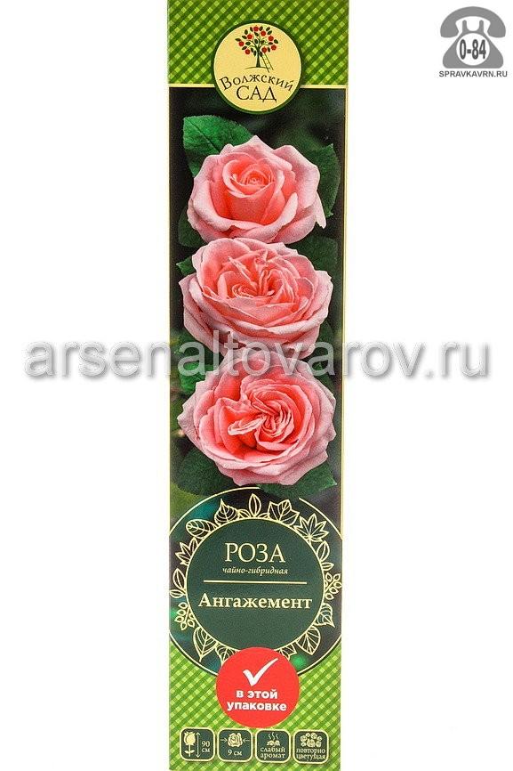 Саженцы декоративных кустарников и деревьев роза чайно-гибридная Дуэт кустистый лиственные зелёнолистный бокаловидный бледно-розовый с каймой открытая Россия