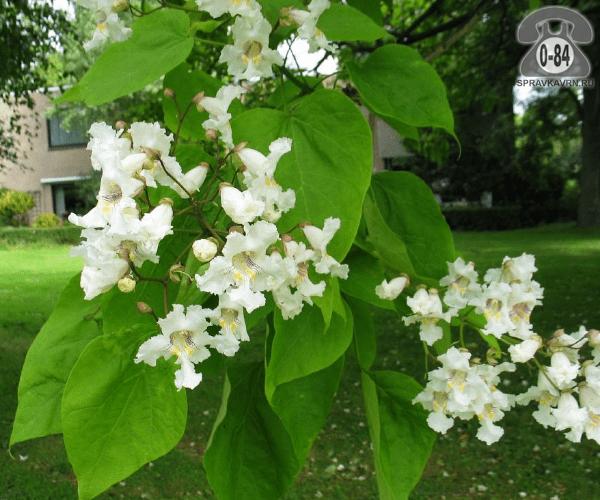 Саженцы декоративных кустарников и деревьев катальпа лиственные зелёнолистный белый закрытая 1 м