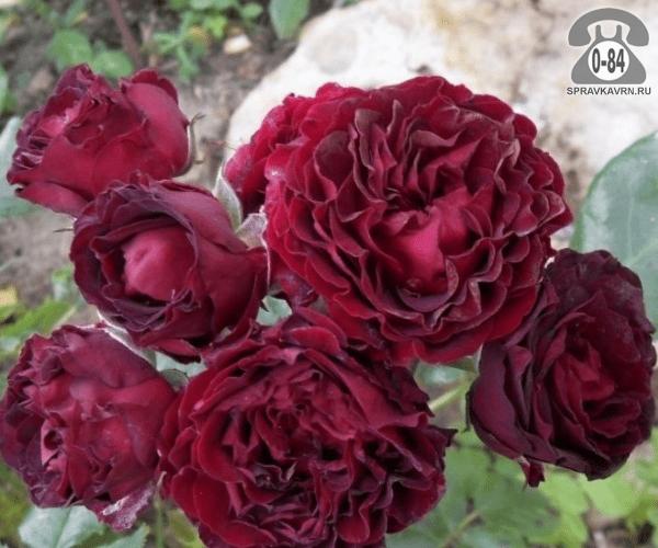 Саженцы декоративных кустарников и деревьев роза спрей Блэк Джек (Black Jack) кустистый лиственные зелёнолистный махровый красный закрытая