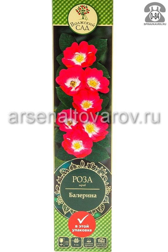 Саженцы декоративных кустарников и деревьев роза шраб Балерина кустистый лиственные зелёнолистный чашевидный темно-розовый с белым открытая Россия