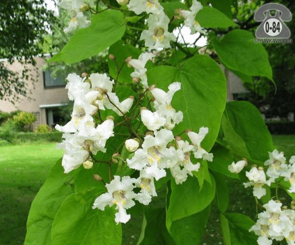 Саженцы декоративных кустарников и деревьев катальпа бигнониевидная высокорослая лиственные зелёнолистный белый закрытая С2 0.3 м