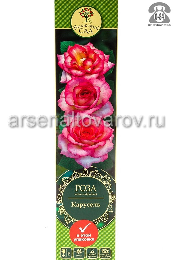 саженцы роза чайно-гибридная Карусель белая с ярко-розовым (Россия)