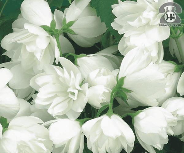 Саженцы декоративных кустарников и деревьев чубушник (жасмин садовый) Сноубель (Snowbelle) кустистый лиственные махровый белый закрытая Россия