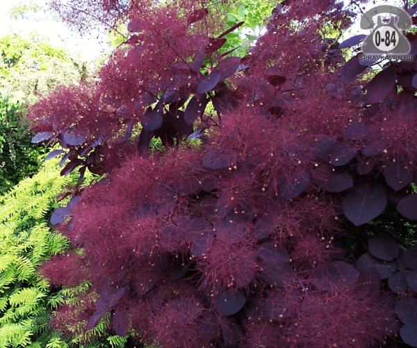 Саженцы декоративных кустарников и деревьев скумпия Роял Пёрпл (Royal Purple) кустистый лиственные пурпурнолистный жёлтый закрытая С3 0.4 м