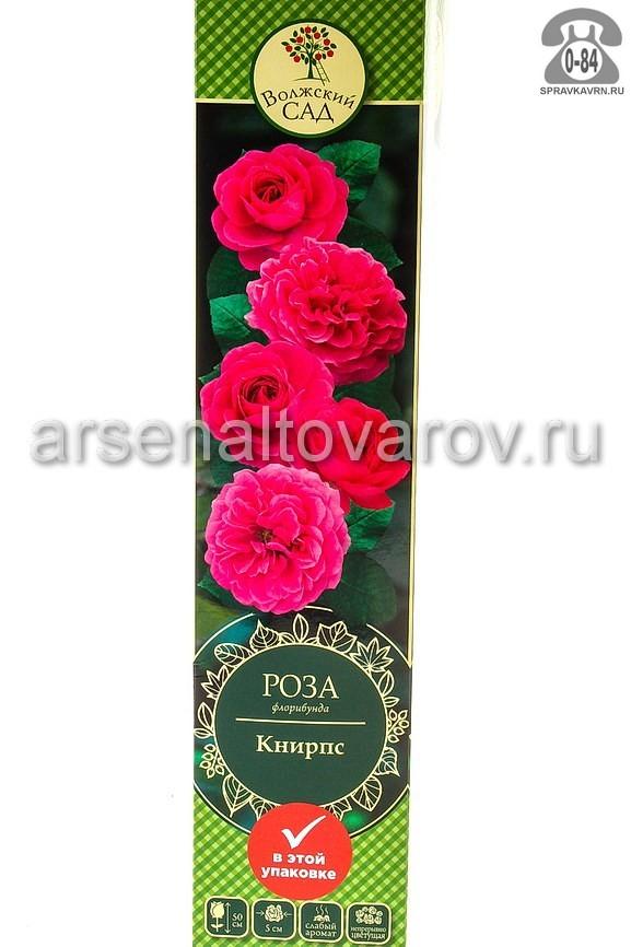 саженцы роза флорибунда Книрпс темно-розовая (Россия)