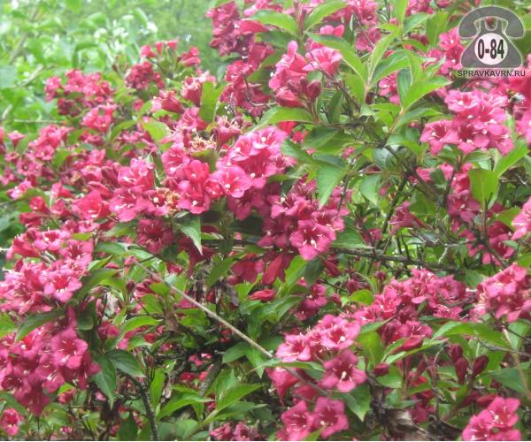 Саженцы декоративных кустарников и деревьев вейгела цветущая ( Weigela florida) Бристоль Руби (Bristol Ruby) кустистый лиственные зелёнолистный колокольчатый розовый закрытая С2 0.5 м