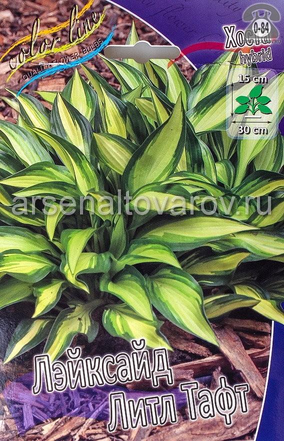 Посадочный материал цветов хоста Лэйксайд Литл Тафт многолетник корневище 1 шт. Нидерланды (Голландия)