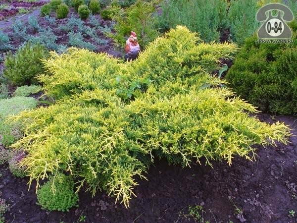 Саженцы декоративных кустарников и деревьев можжевельник средний Голд Киссен (Голдкиссен, Gold Kissen, Goldkissen) кустистый хвойные