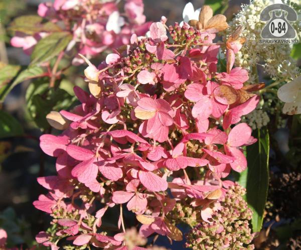 Саженцы декоративных кустарников и деревьев гортензия метельчатая Мега Минди (Mega Mindy) кустистый лиственные зелёнолистный розовый закрытая С2 0.3 м