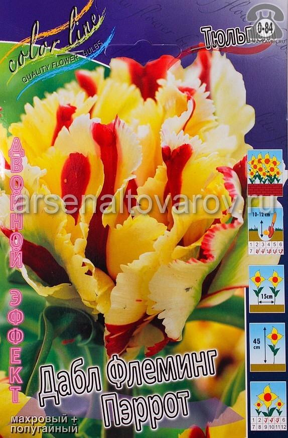 Клубнелуковичный цветок тюльпан Двойной Эффект Дабл Флеминг Пэррот
