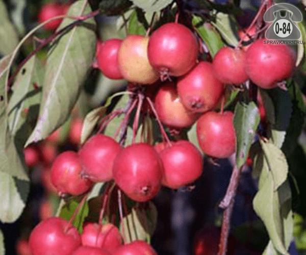 Саженцы декоративных кустарников и деревьев яблоня декоративная Чилс Випинг плакучая лиственные закрытая Россия