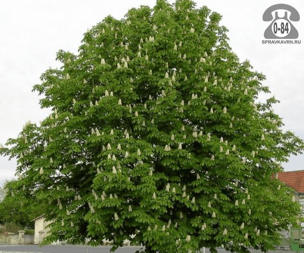 Саженцы декоративных кустарников и деревьев конский каштан (жёлудник, эскулус) лиственные закрытая 0.8 м Россия