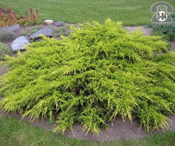 Саженцы декоративных кустарников и деревьев можжевельник средний Пфитцериана Ауреа (Pfitzeriana Aurea) хвойные 0.2 м
