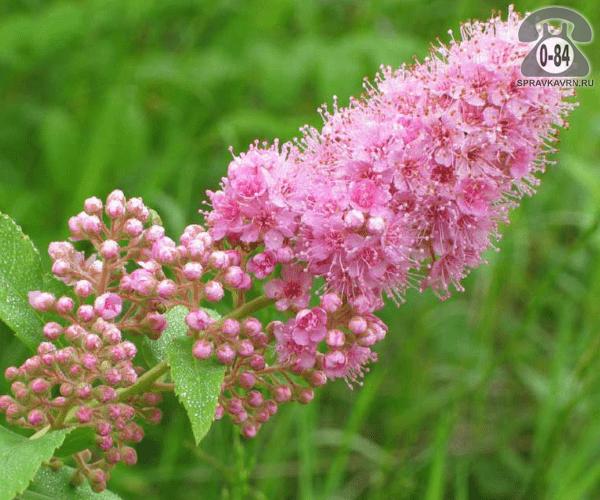 Саженцы декоративных кустарников и деревьев спирея Дугласа лиственные розовый открытая