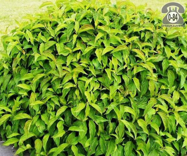 Саженцы декоративных кустарников и деревьев дёрен отпрысковый лиственные