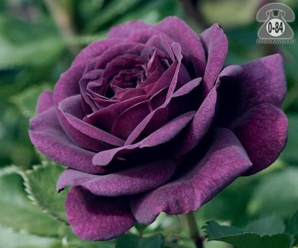 Саженцы декоративных кустарников и деревьев роза чайно-гибридная кустистый лиственные зелёнолистный бокаловидный открытая Россия
