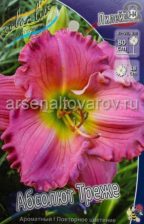 Посадочный материал цветов лилейник Абсолют Треже многолетник корневище 1 шт. Нидерланды (Голландия)