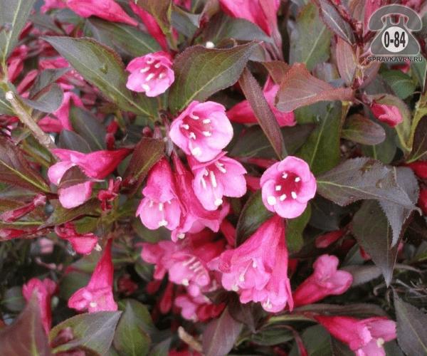 Саженцы декоративных кустарников и деревьев вейгела цветущая ( Weigela florida) Александра (Alexandra) кустистый лиственные пурпурнолистный колокольчатый розовый закрытая С2 0.5 м