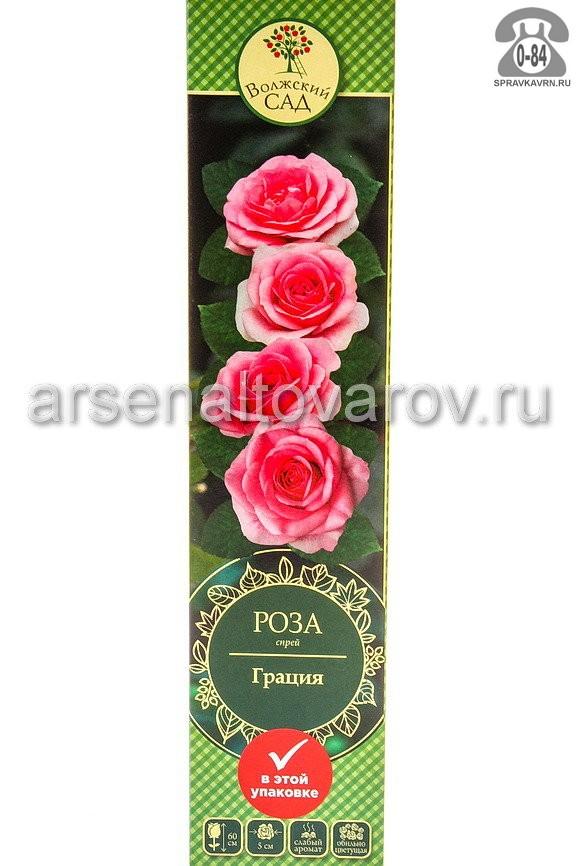 Саженцы декоративных кустарников и деревьев роза спрей Грация кустистый лиственные зелёнолистный махровый светло-розовый открытая Россия