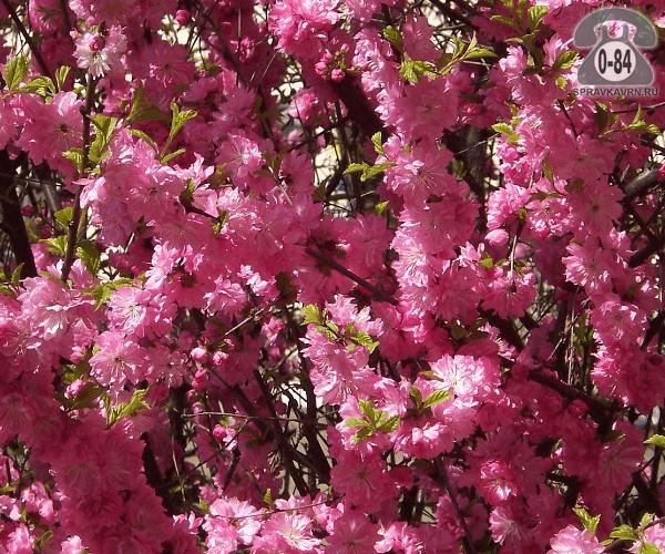 Саженцы декоративных кустарников и деревьев миндаль трёхлопастный (луизеания) штамбовая лиственные махровый розовый закрытая С10 2 м Польша