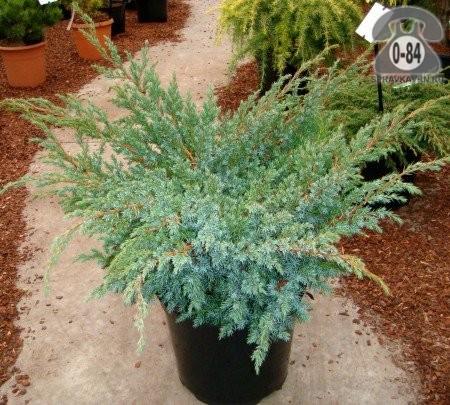 Саженцы декоративных кустарников и деревьев можжевельник чешуйчатый Блю Свид (Blue Swede) кустистый хвойные