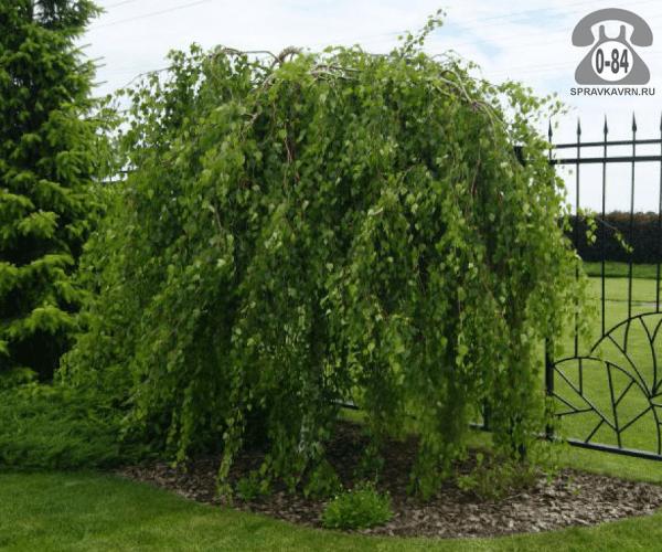 Саженцы декоративных кустарников и деревьев берёза бородавчатая (повислая, плакучая, обыкновенная, повисшая) Юнга плакучая лиственные зелёнолистный закрытая С5 1.5 м