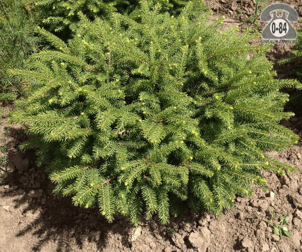 Саженцы декоративных кустарников и деревьев ель подушковидная Нидиформис (Nidiformis) компактный хвойные зелёнолистный закрытая С3 0.3 м
