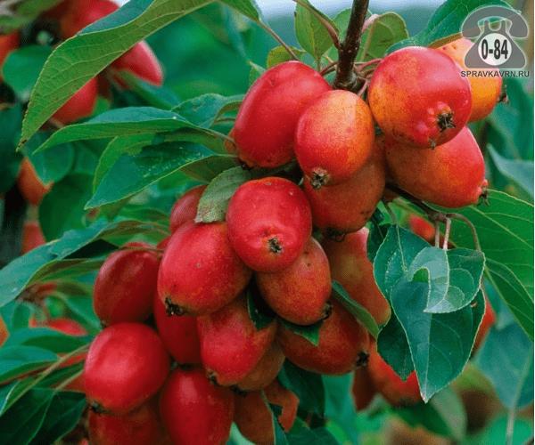 Саженцы декоративных кустарников и деревьев яблоня декоративная Джон Дауни лиственные закрытая Россия