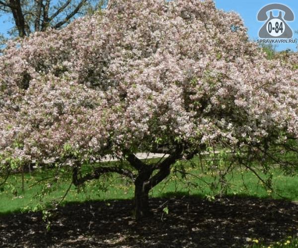 Саженцы декоративных кустарников и деревьев яблоня декоративная Ред Джед лиственные закрытая Россия
