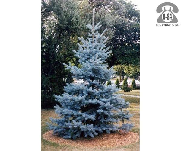 Саженцы декоративных кустарников и деревьев ель голубая (колючая) Хупси (Hoopsii) хвойные