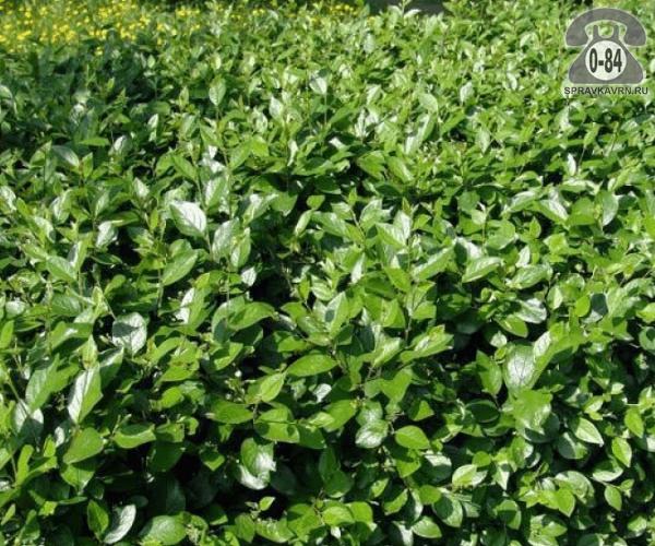 Саженцы декоративных кустарников и деревьев кизильник блестящий лиственные зелёнолистный закрытая Россия