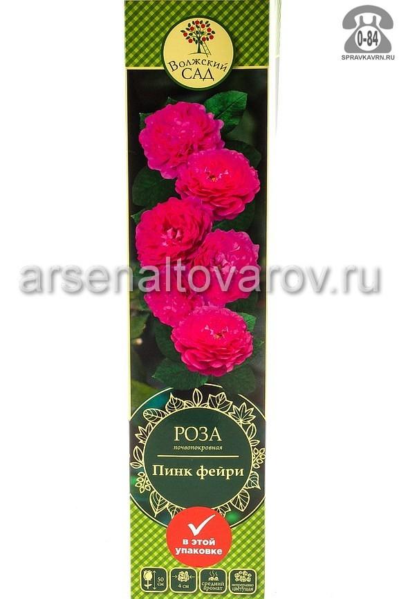 Саженцы декоративных кустарников и деревьев роза Пинк Фейри почвопокровная лиственные зелёнолистный чашевидный розовый открытая Россия