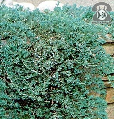 Саженцы декоративных кустарников и деревьев Глаука (Glauca) стелющийся хвойные