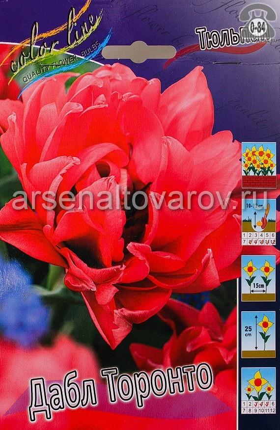 луковичные тюльпан махровый поздний Дабл Торонто (в пакете 10 шт) цена за пакет (Голландия)