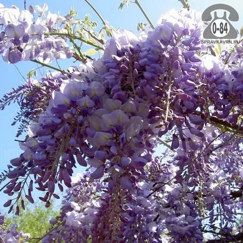 Саженцы декоративных кустарников и деревьев глициния Блю Мун (Blue Moon) плетистая лиственные зелёнолистный сиреневый закрытая С2 0.8 м