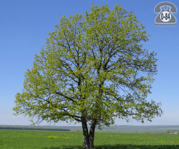 Саженцы декоративных кустарников и деревьев дуб обыкновенный (черешчатый, летний, английский) лиственные закрытая С3 Россия
