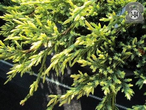 Саженцы декоративных кустарников и деревьев можжевельник чешуйчатый Голд Тип (Gold Tip) стелющийся хвойные