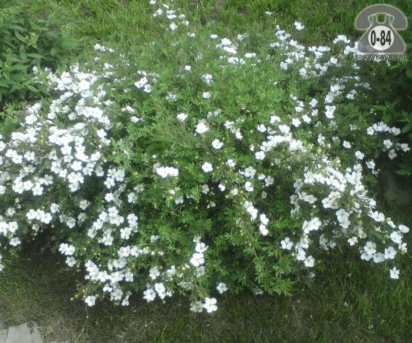 Саженцы декоративных кустарников и деревьев лапчатка кустарниковая Абботсвуд ( Abbotswood) кустистый лиственные зелёнолистный белый закрытая С2 0.4 м