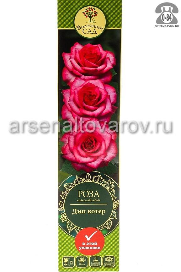 Саженцы декоративных кустарников и деревьев роза чайно-гибридная Дип Вотер кустистый лиственные зелёнолистный бокаловидный розовый с красным открытая Россия