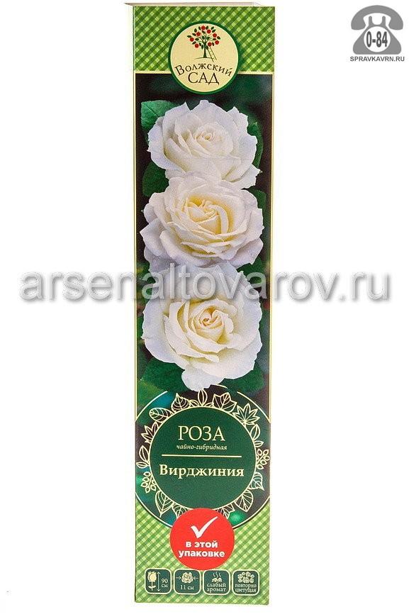 Саженцы декоративных кустарников и деревьев роза чайно-гибридная Вирджиния кустистый лиственные зелёнолистный бокаловидный белый открытая Россия