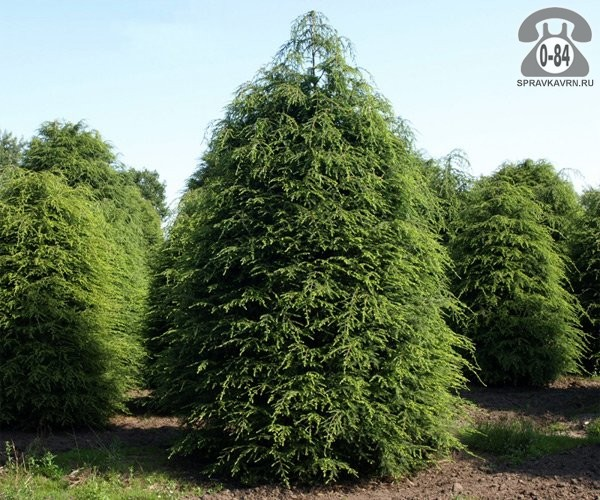 Саженцы декоративных кустарников и деревьев тсуга канадская (Tsuga canadensis) хвойные закрытая