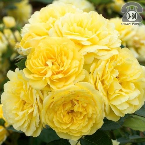 Саженцы декоративных кустарников и деревьев роза парковая (шиповник культурный) лиственные открытая