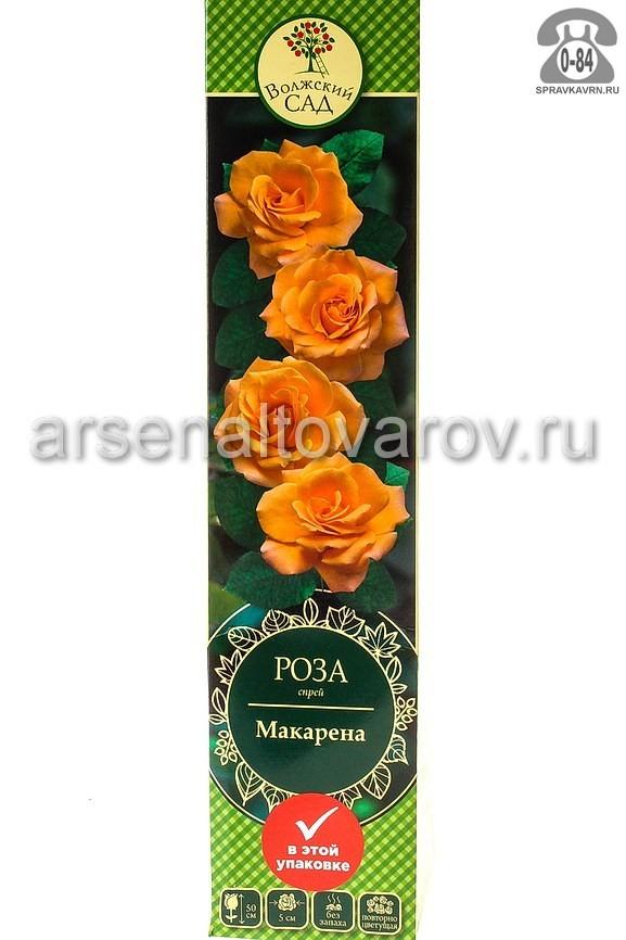 саженцы роза спрей Макарена оранжево-желтая (Россия)