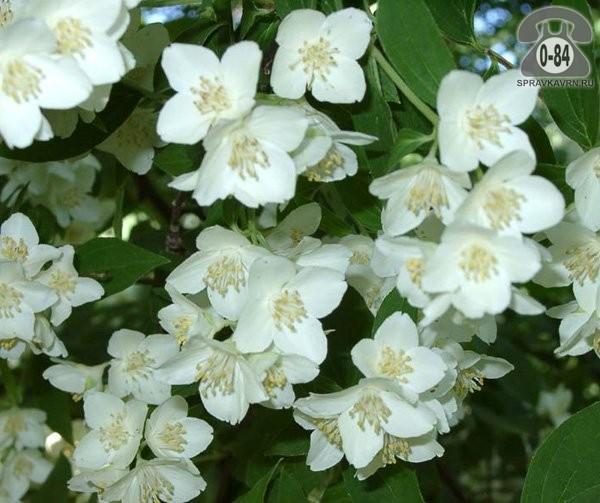 Саженцы декоративных кустарников и деревьев жасмин крупноцветковый (грандифлорум) лиственные зелёнолистный белый