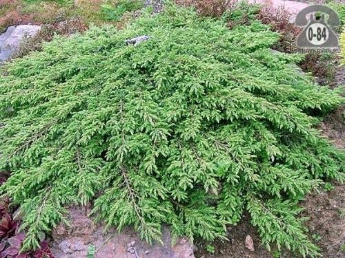 Саженцы декоративных кустарников и деревьев можжевельник обыкновенный (лесной) Грин Карпет (Green Carpet) стелющийся хвойные