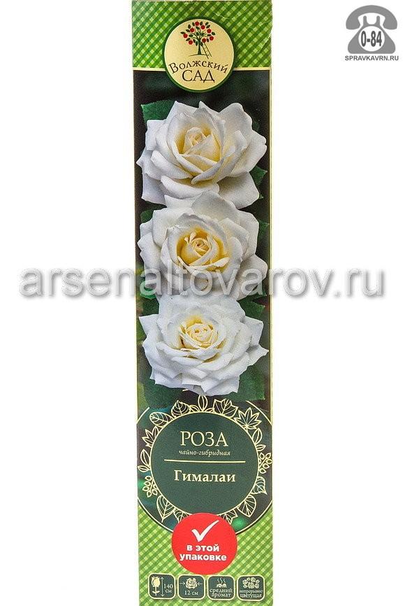 саженцы роза чайно-гибридная Гималаи ярко-белая с кремовым (Россия)