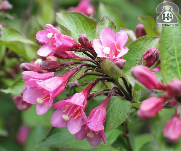 Саженцы декоративных кустарников и деревьев вейгела кустистый лиственные колокольчатый розовый закрытая С2 0.5 м