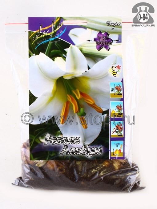 Клубнелуковичный цветок лилия трубчатая Регале Албум